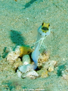 Came across this Yellowhead Jawfish with his mouthful of ... by J. Daniel Horovatin 